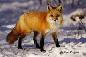 Αλεπού… πυροβόλησε κυνηγό!